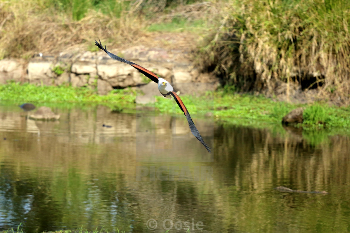"""The African Fish Eagle"" stock image"