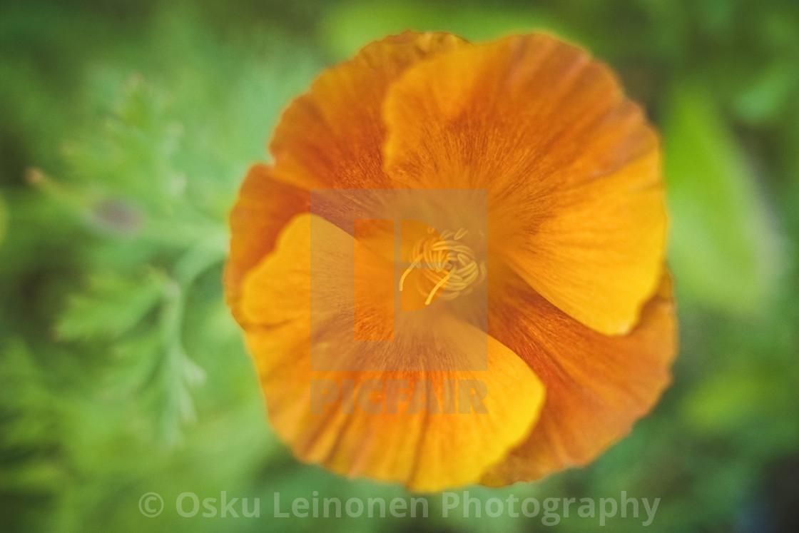 """""""Light Orange Flower"""" stock image"""