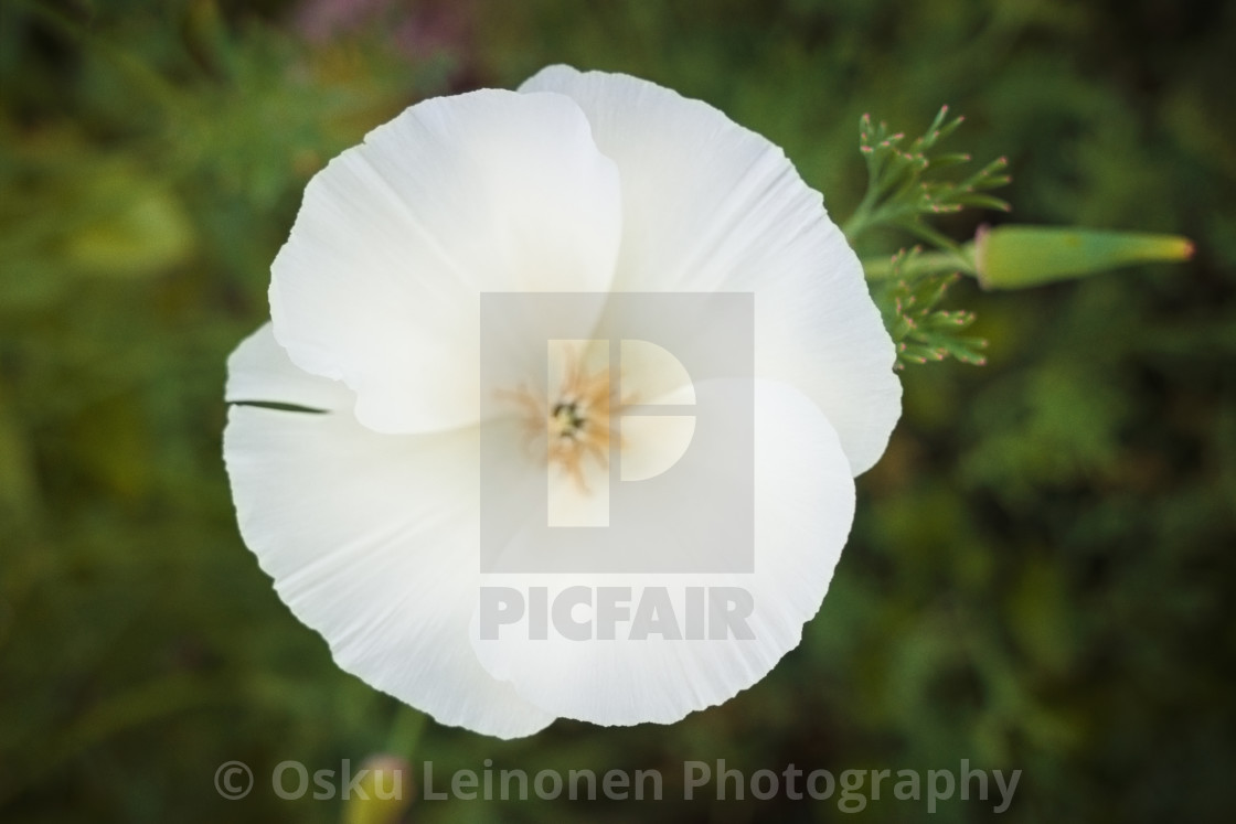 """""""Disc Shaped Flower"""" stock image"""