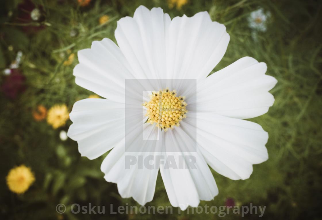 """""""Softly White Flower"""" stock image"""