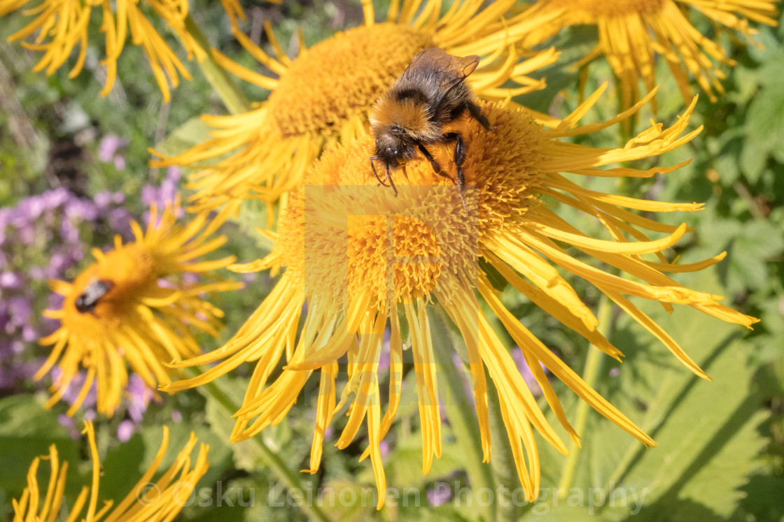 """Bee And Yellow Flower IV"" stock image"