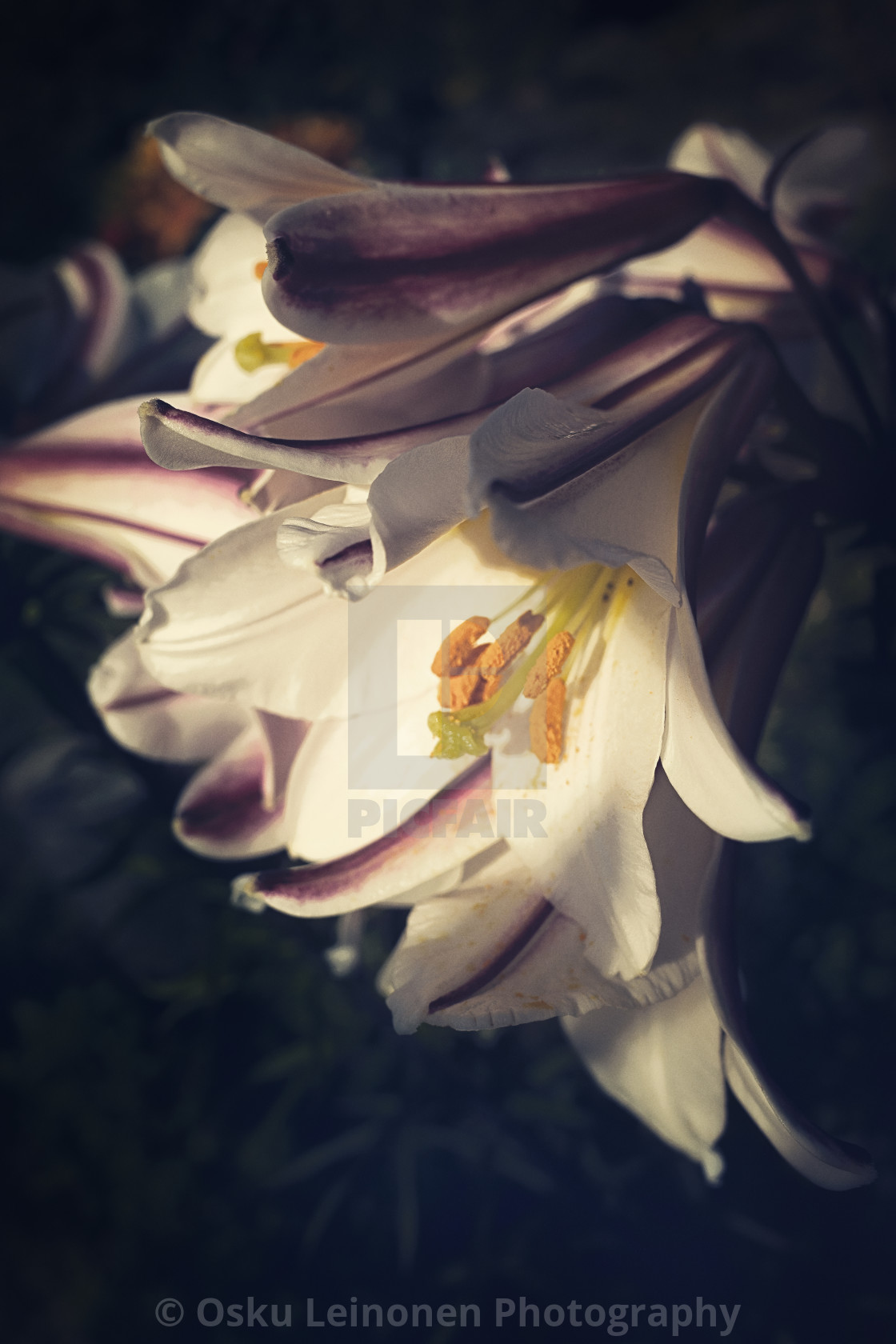"""""""Horn Flower"""" stock image"""