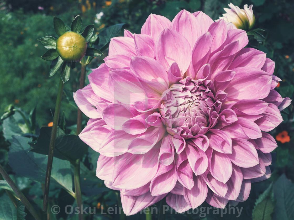 """Royal Flower"" stock image"