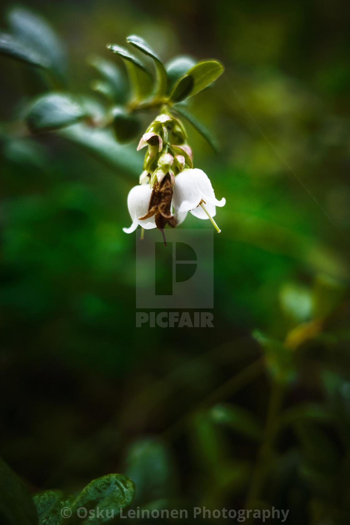 """""""Lingonberry Flower"""" stock image"""