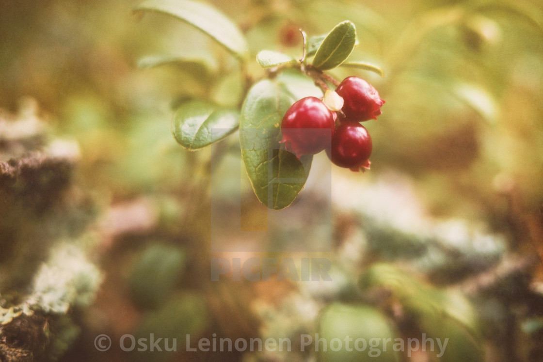 """Merging To Forest (Lingonberries)"" stock image"
