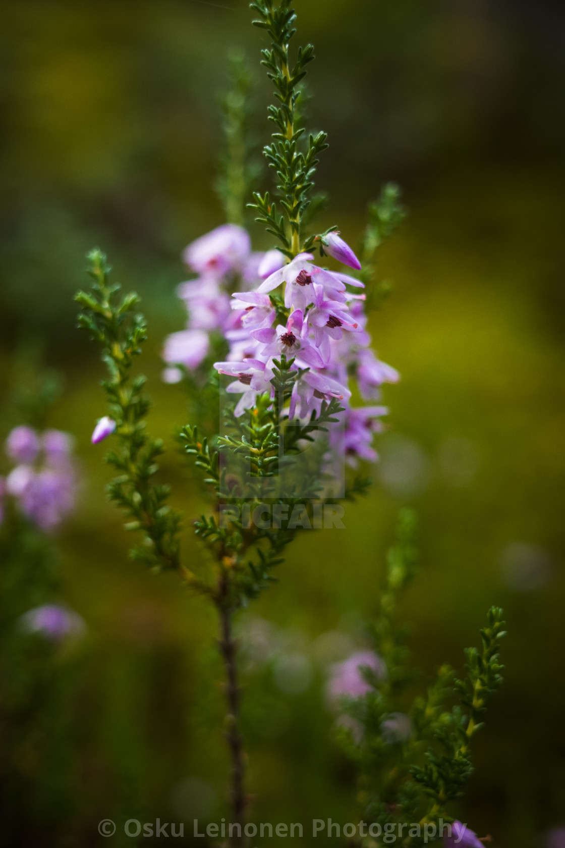"""Heather I (Forest)"" stock image"