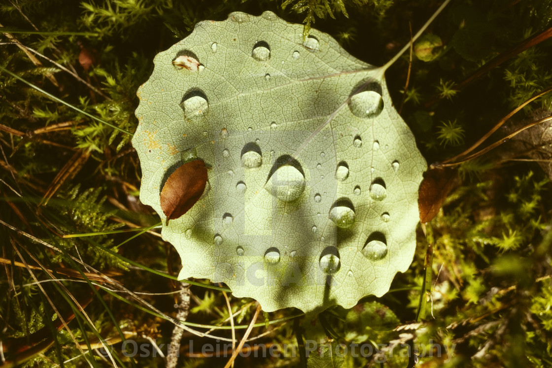 """Light In The Woods II (Leaf And Water Drops)"" stock image"