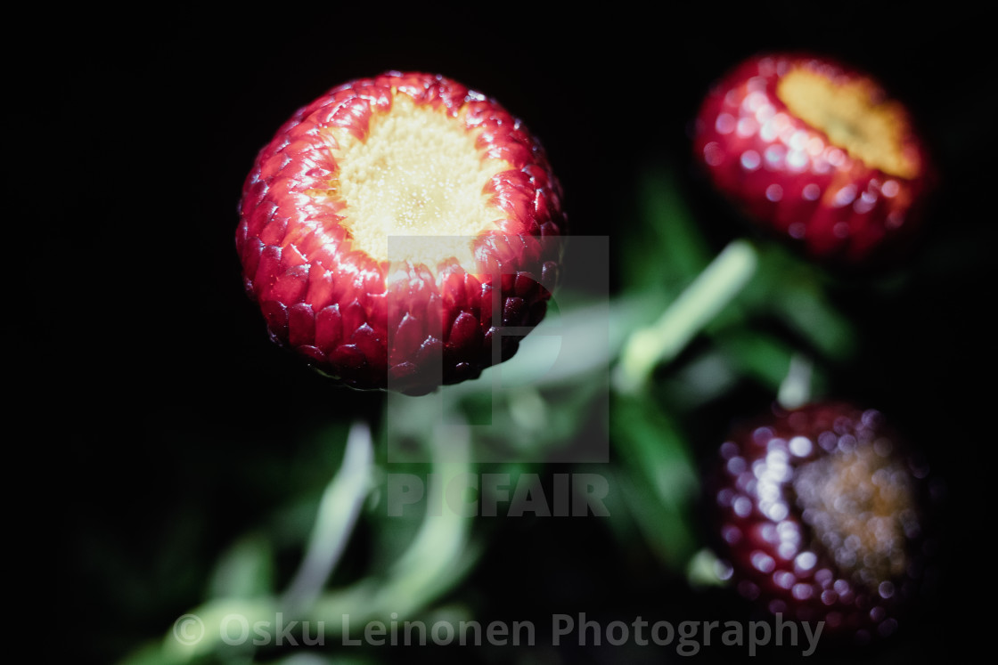 """Flowers At Night V"" stock image"