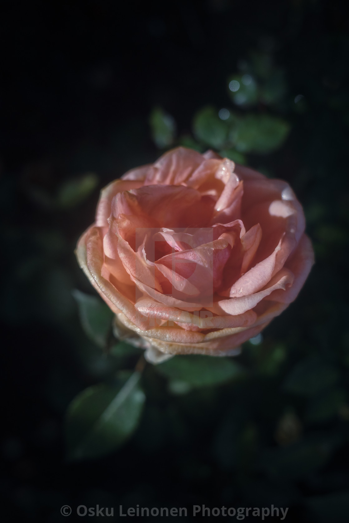 """Rose At Night IV"" stock image"