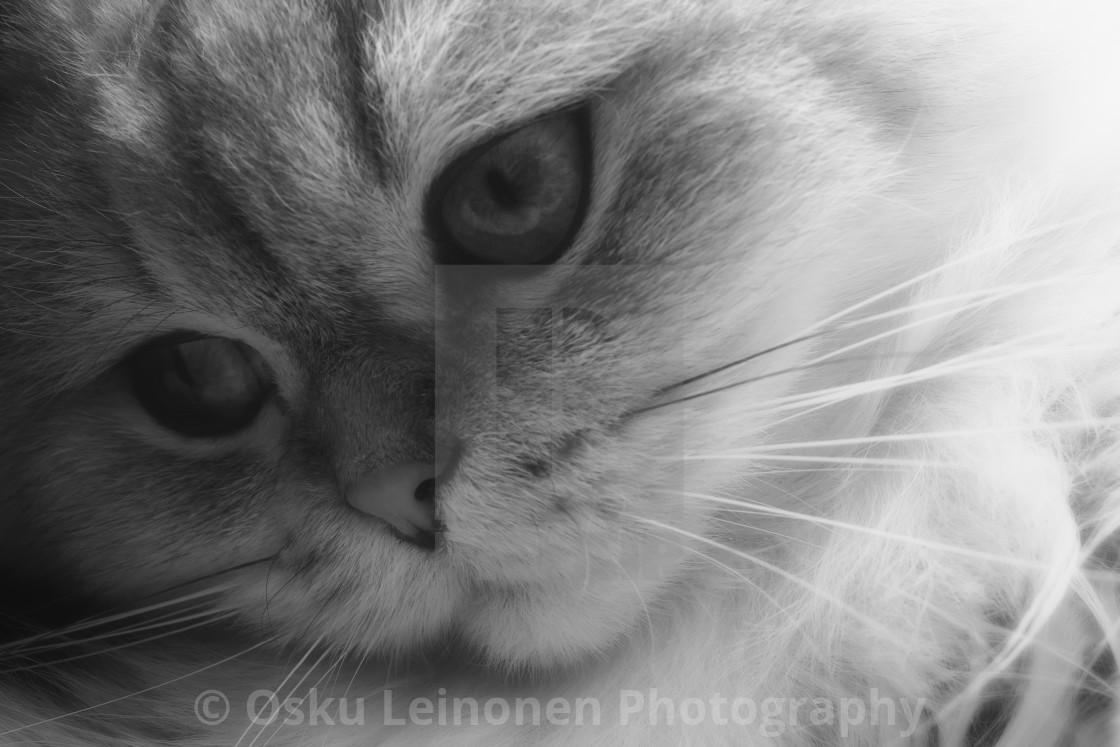 """""""Thoughtful Softness I (Cat)"""" stock image"""