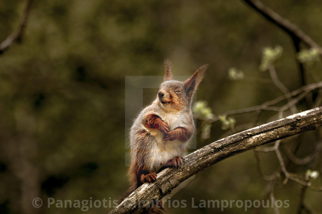 """Squirrel"" stock image"