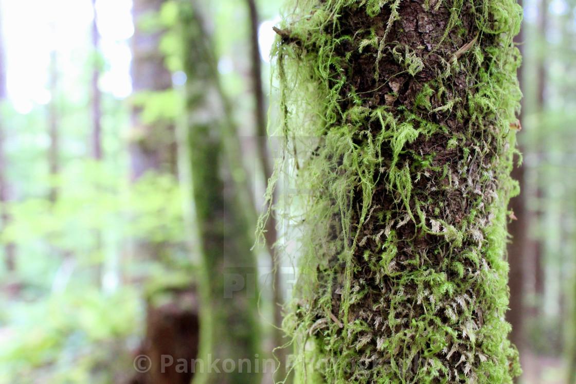 """Tree in Oregon rainforest"" stock image"