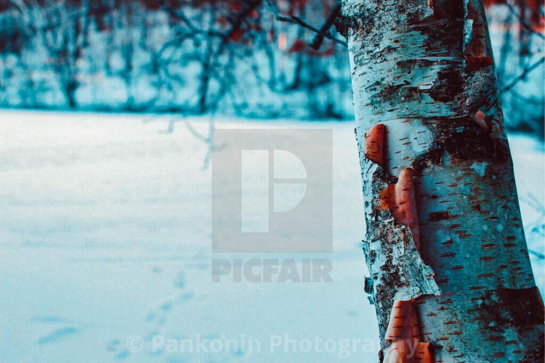 """Winter birch"" stock image"