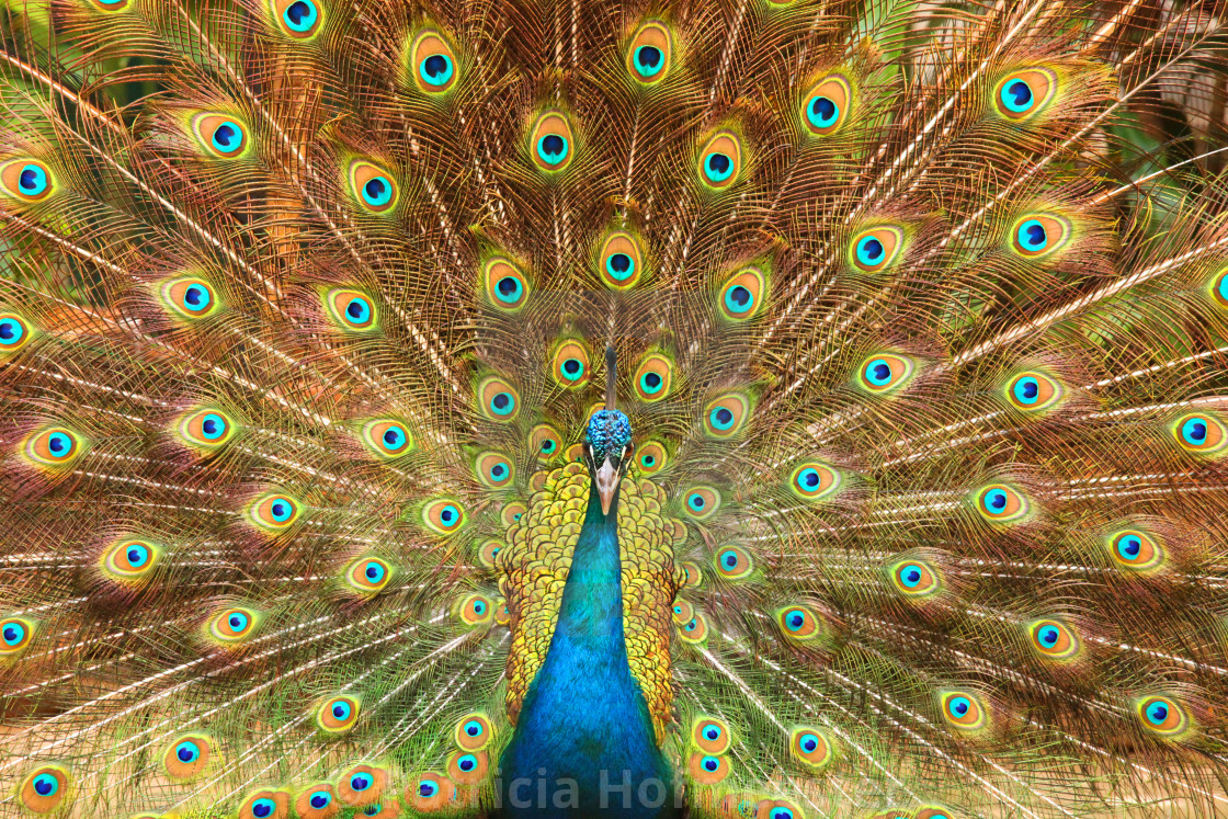 """""""Peacock showing its feathers XL"""" stock image"""