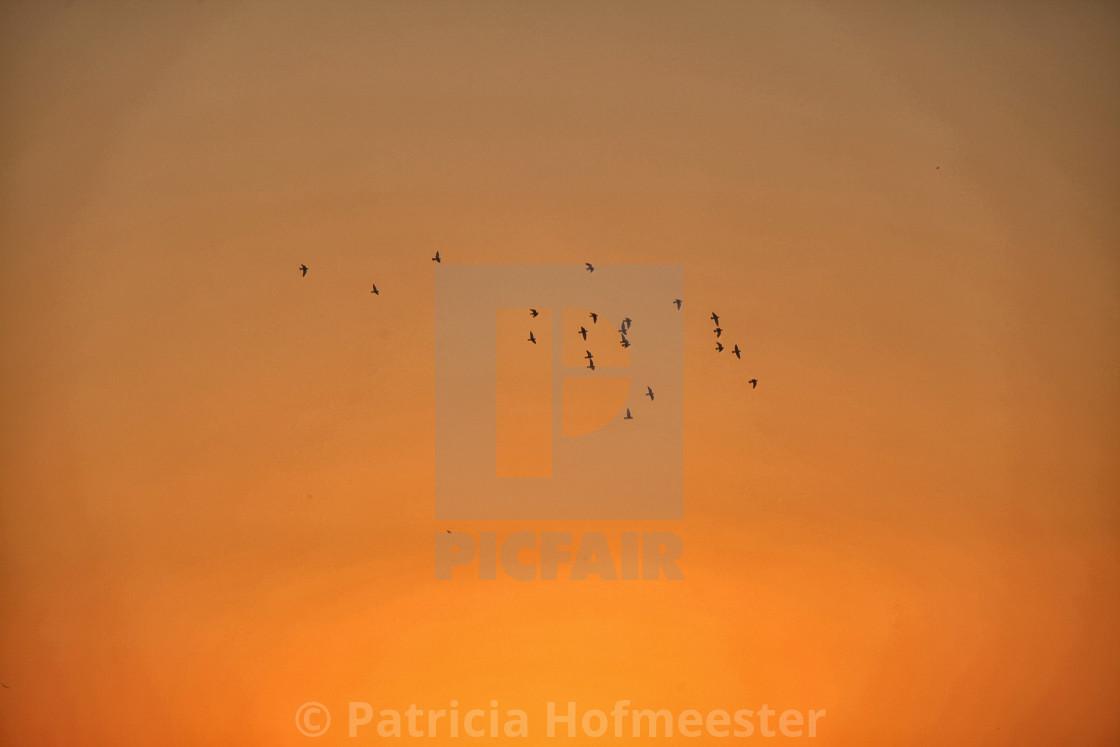 """Birds flying at sunset"" stock image"