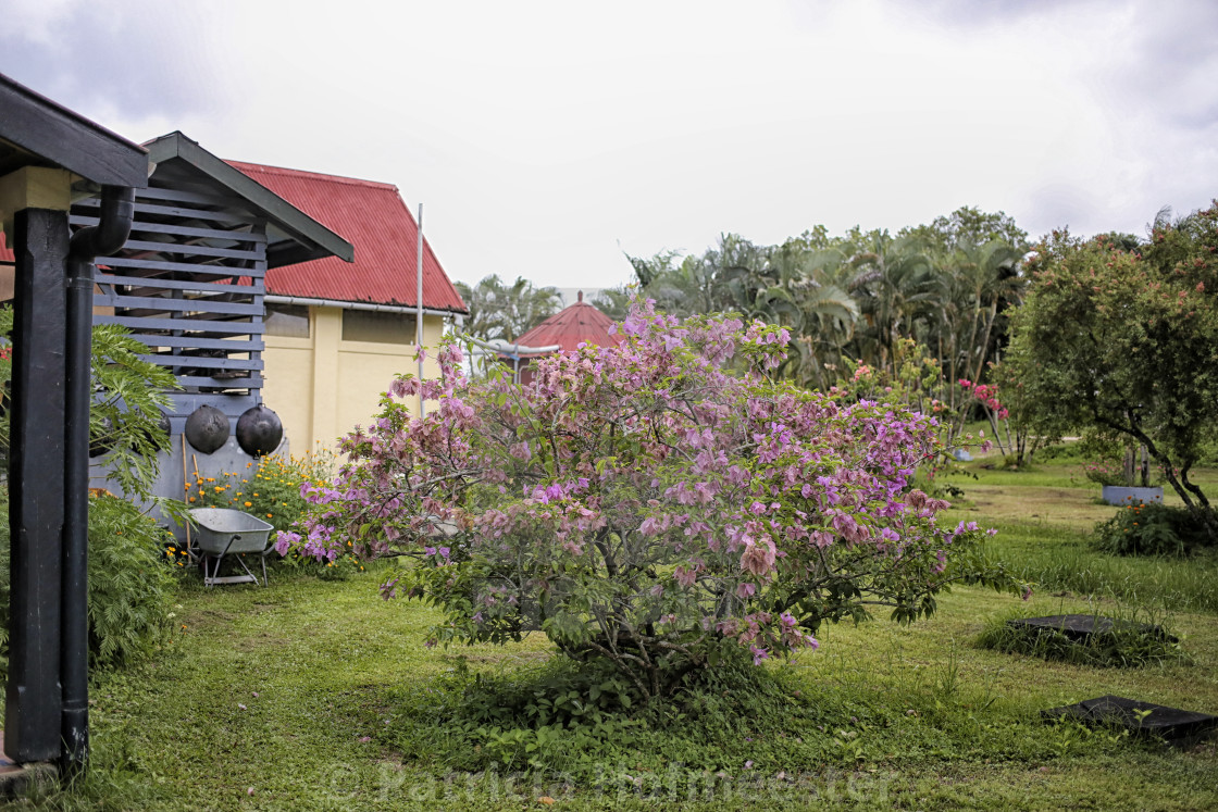 """Plantage Frederiksdorp with large Bougainville"" stock image"