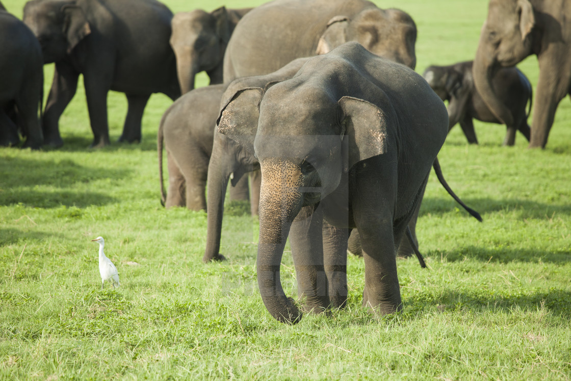 """""""A young elephant in a herd"""" stock image"""
