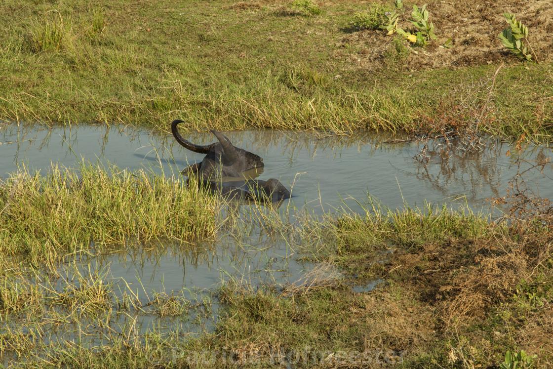 """Buffalo in water"" stock image"