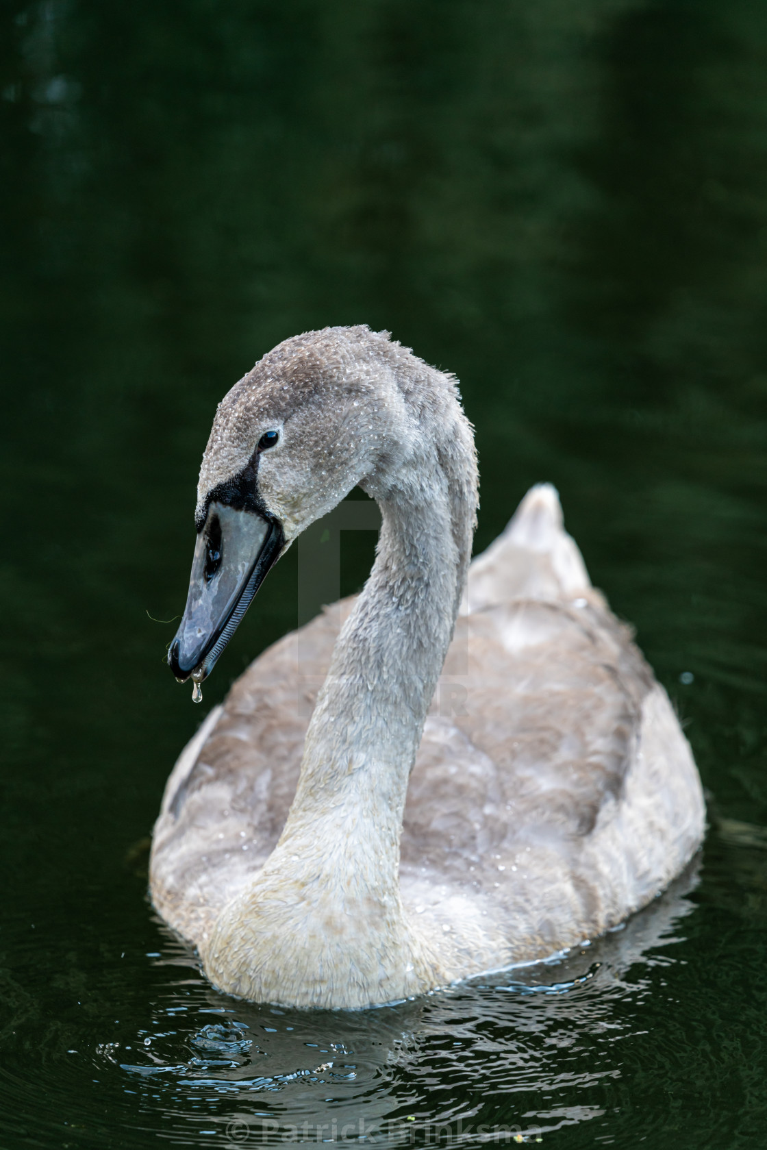"""Yound Adult Swan"" stock image"