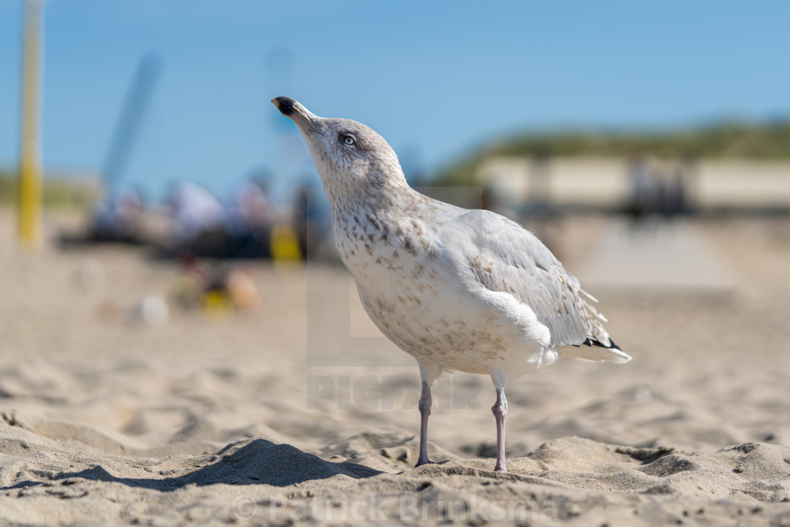 """Seagull With Head Up High"" stock image"