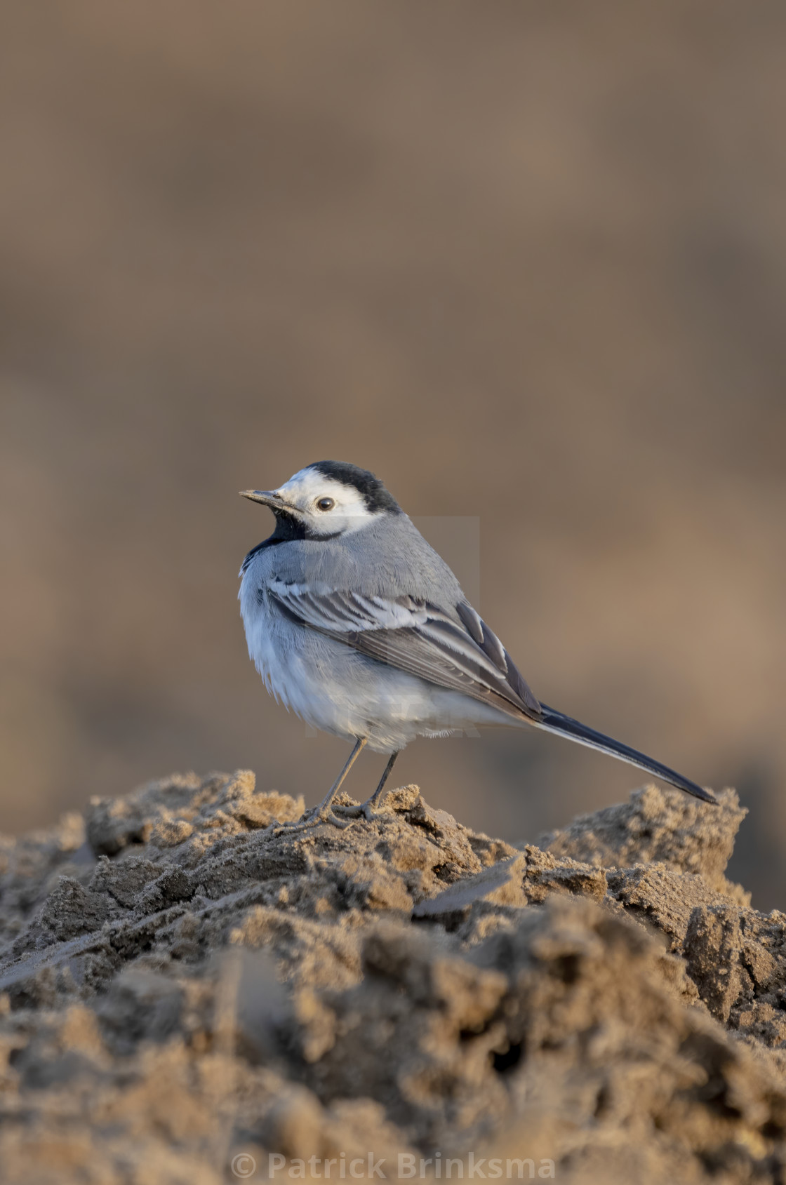 """White Wagtail"" stock image"