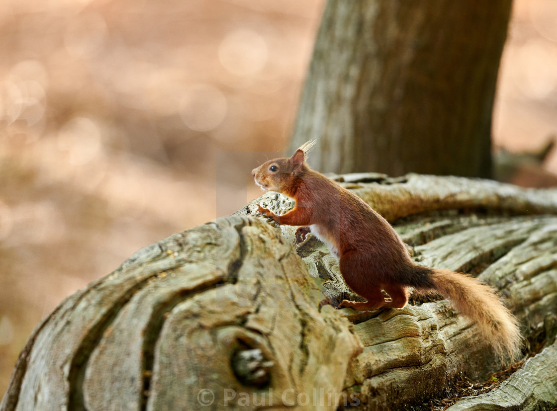 """Red Squirrel in great light"" stock image"