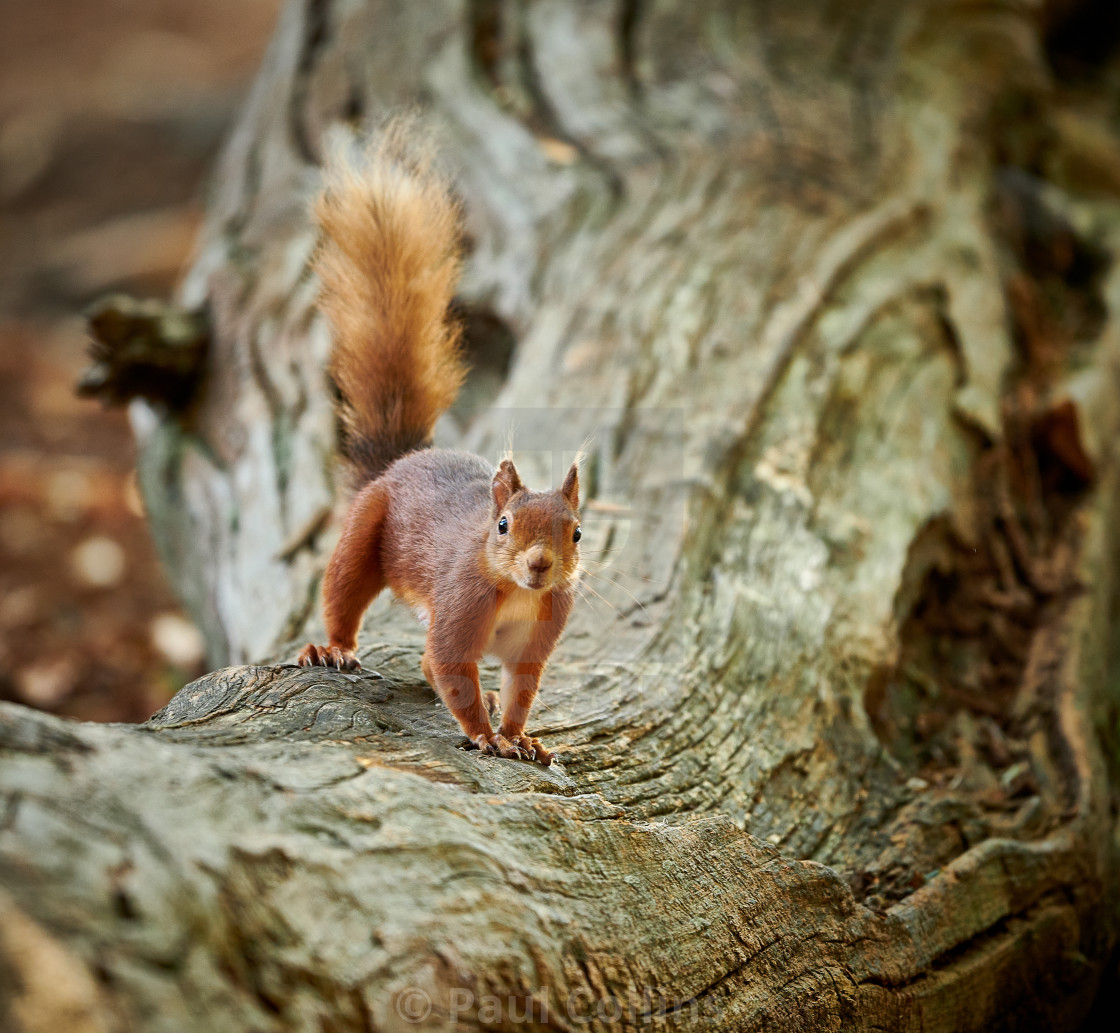 """Cheeky Red Squirrel on a fallen tree"" stock image"