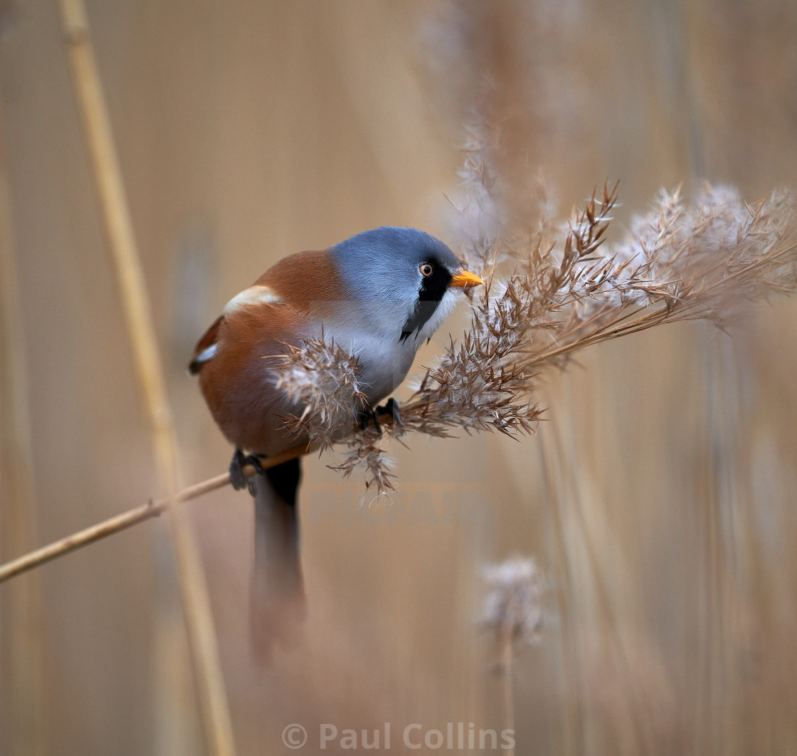 """Male Bearded Reedling"" stock image"