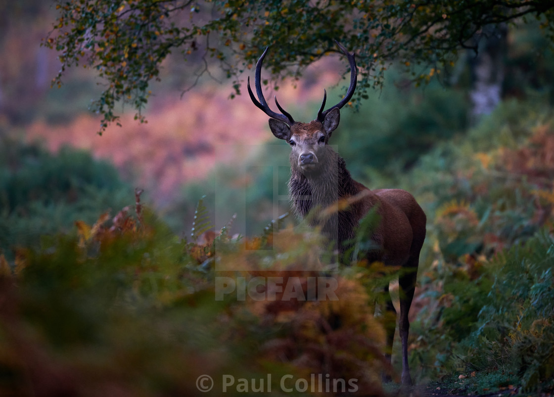 """Woodland Stag at dawn part 2"" stock image"