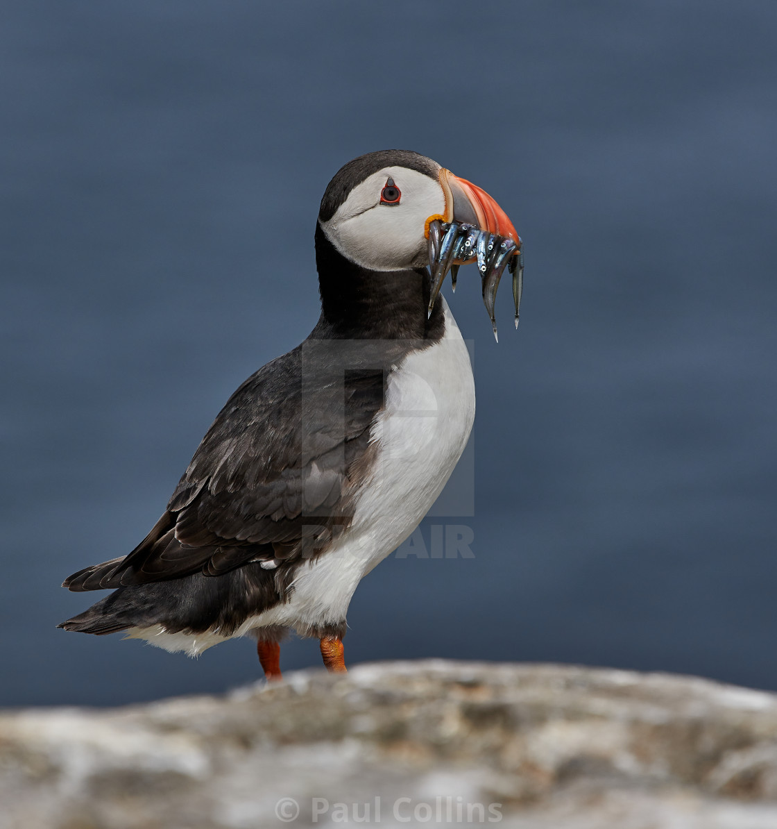 """Puffin with Sand Eels"" stock image"