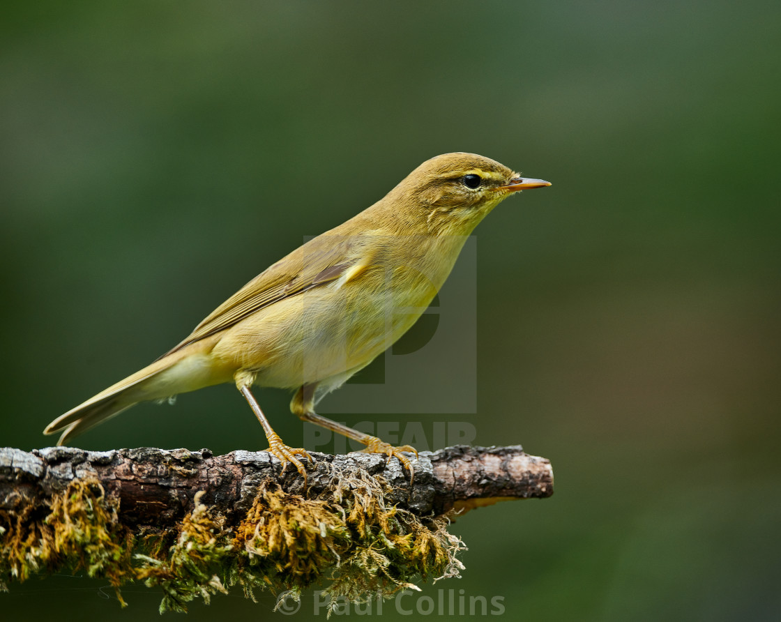 """Juvenile Willow Warbler"" stock image"