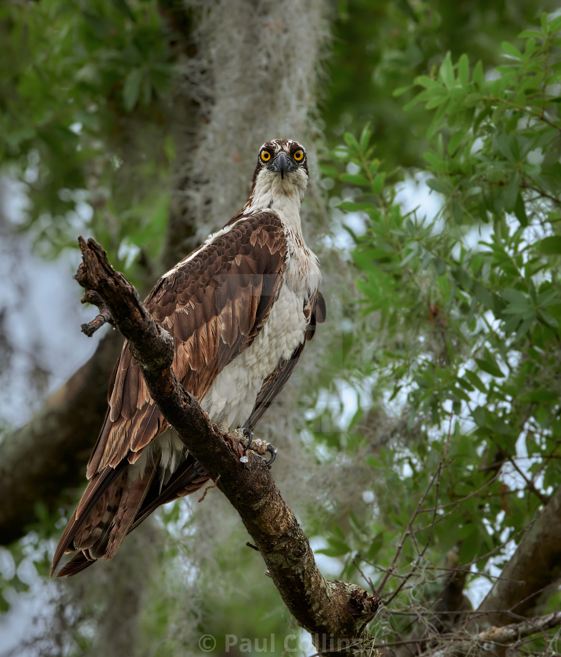 """Wild Osprey perched"" stock image"