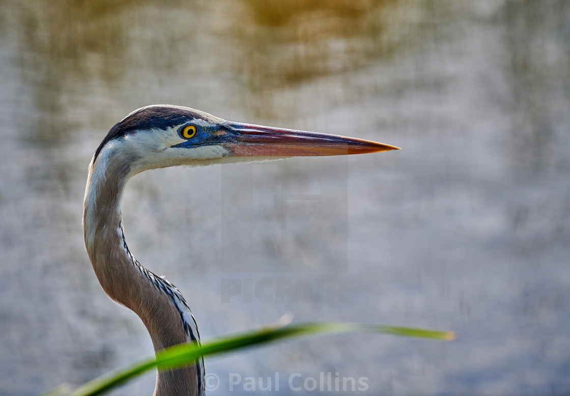 """Backlit Great Blue Heron"" stock image"