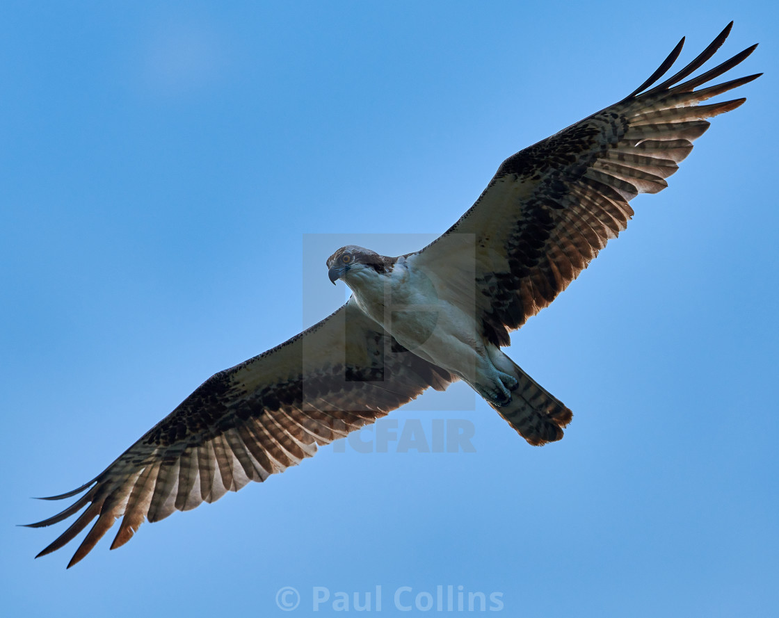 """Backlit Osprey searching for fish"" stock image"