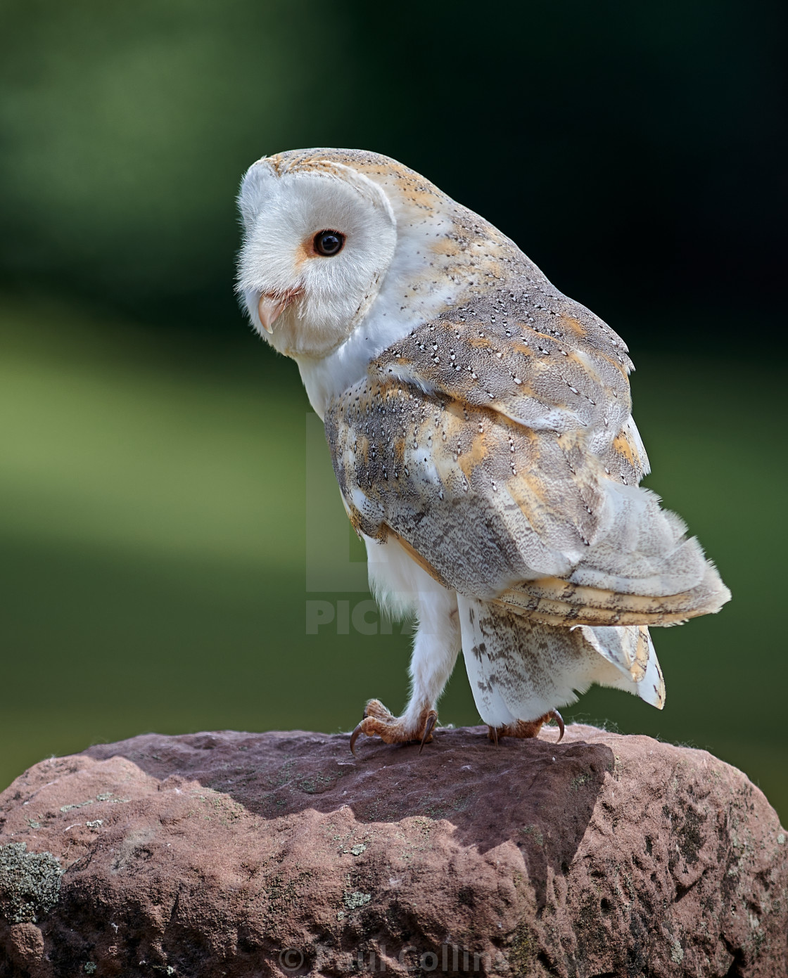 """Beautiful Barn Owl Perched"" stock image"