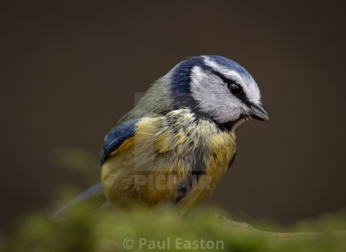 """""""Blue Tit : In the forest"""" stock image"""