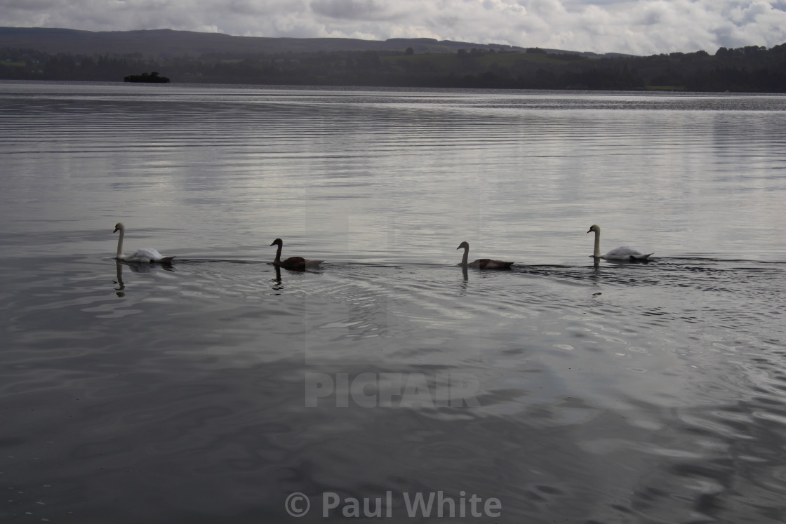 """Four Swans swimming"" stock image"