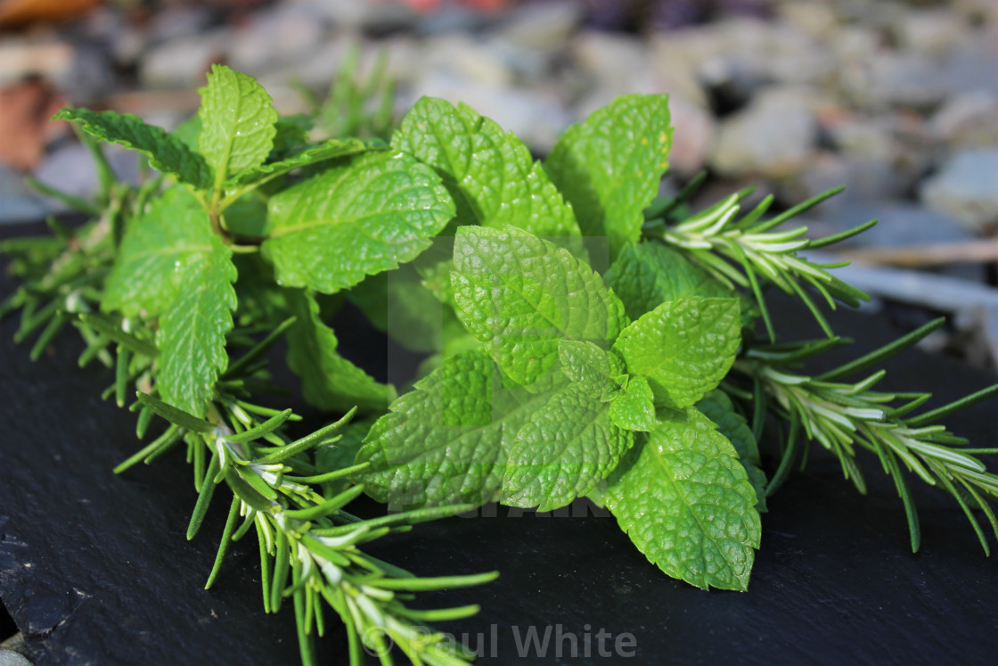 """Mint tips with Rosemary 2"" stock image"
