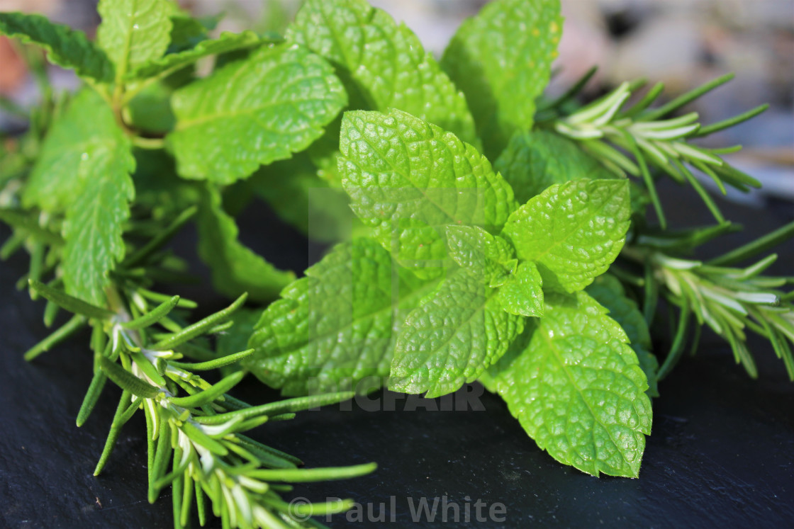 """Mint tips with Rosemary 3"" stock image"