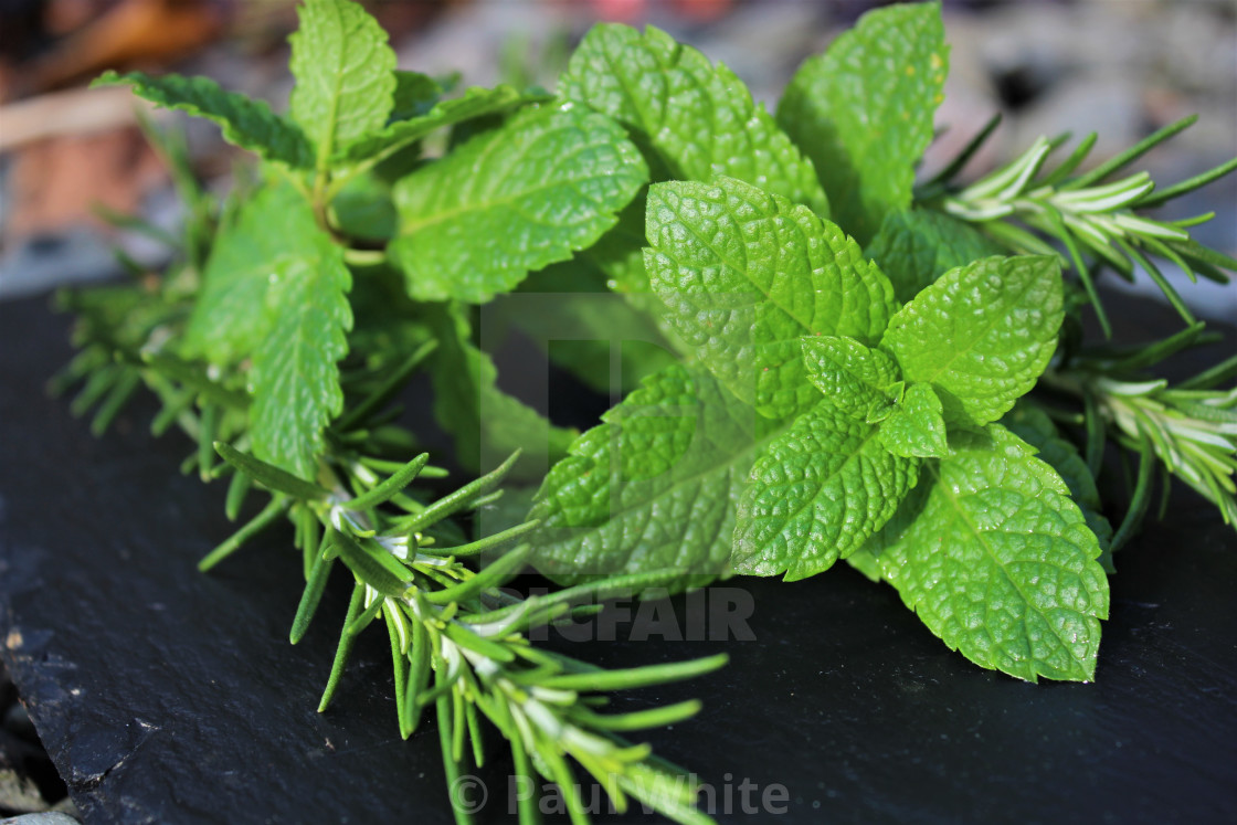 """Mint Tips with Rosemary 4"" stock image"