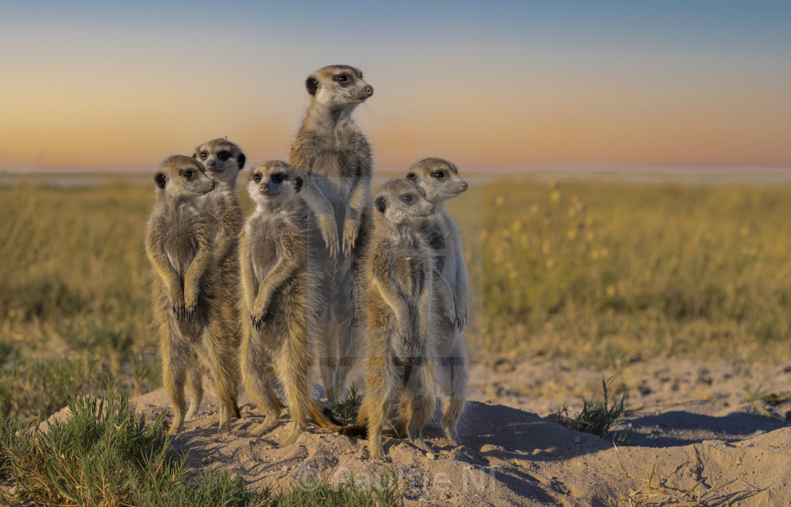 """Meerkat Family Photo ❣"" stock image"