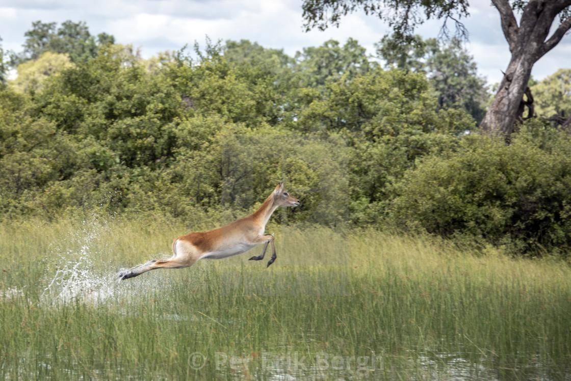 """Red lechwe antelope on the run"" stock image"