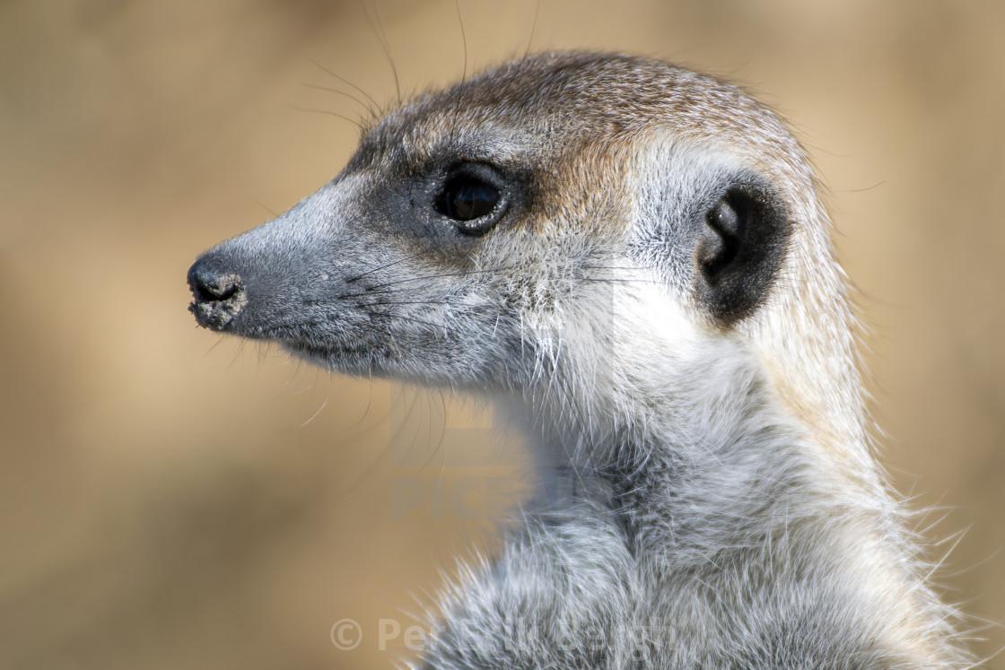 """""""Meerkat portrait"""" stock image"""