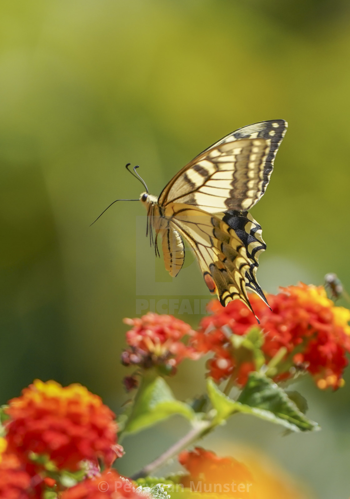 """Common yellow swallowtail, Papilio machaon, in flight"" stock image"