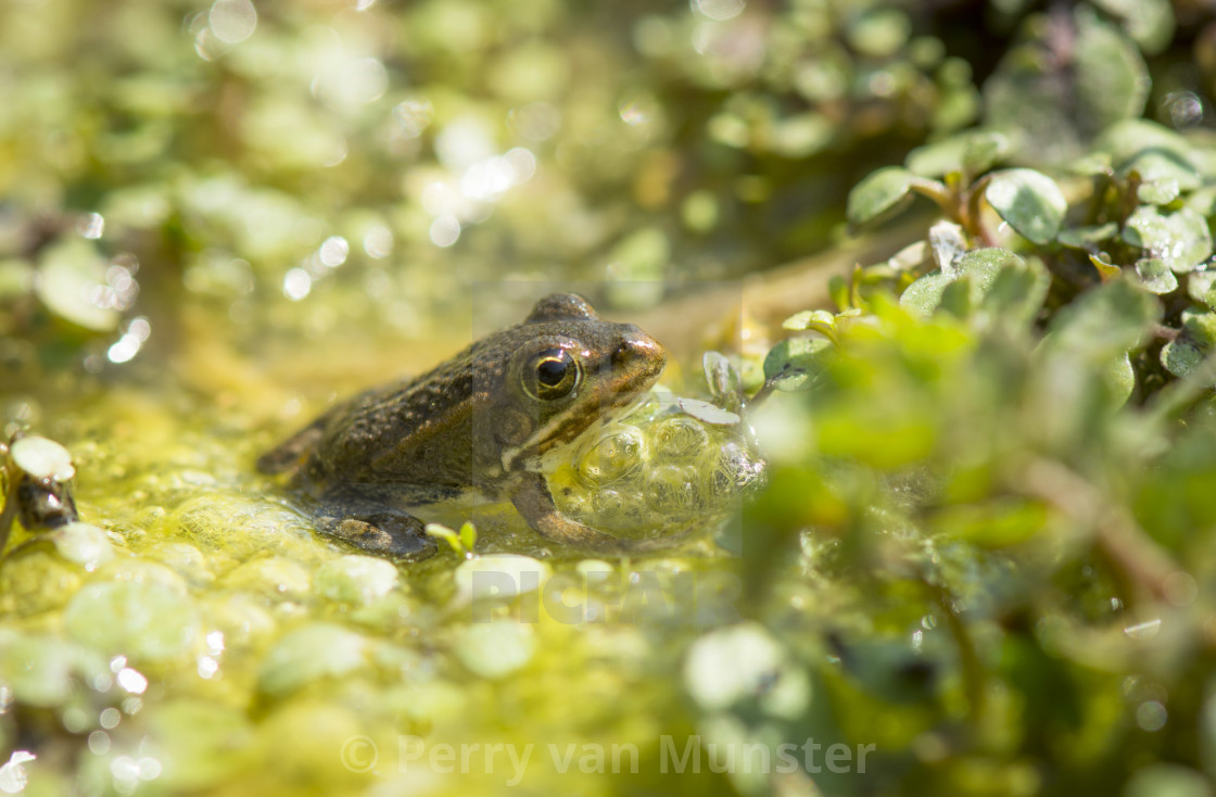 """Iberian water frog, Pelophylax perezi in green water, Andalusia, Spain"" stock image"