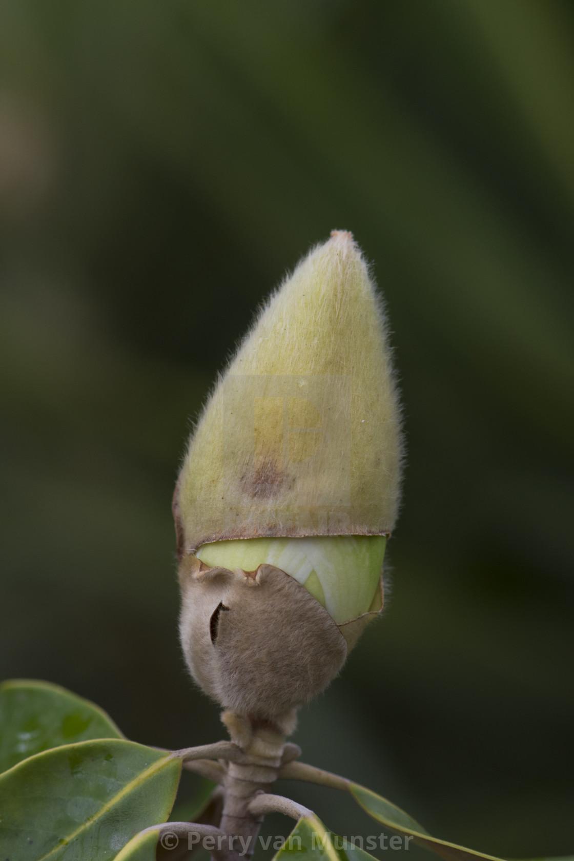 """magnolia or bull bay"" stock image"