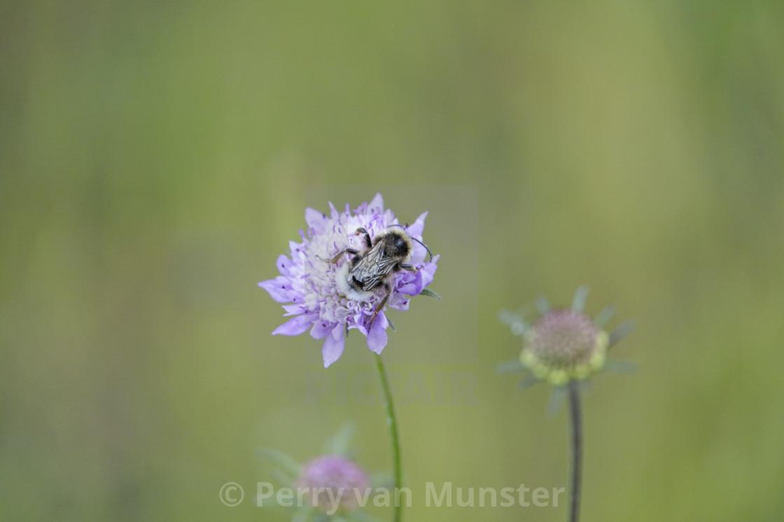 """bumblebee, bumble bee, Bombus, on a flower feeding"" stock image"