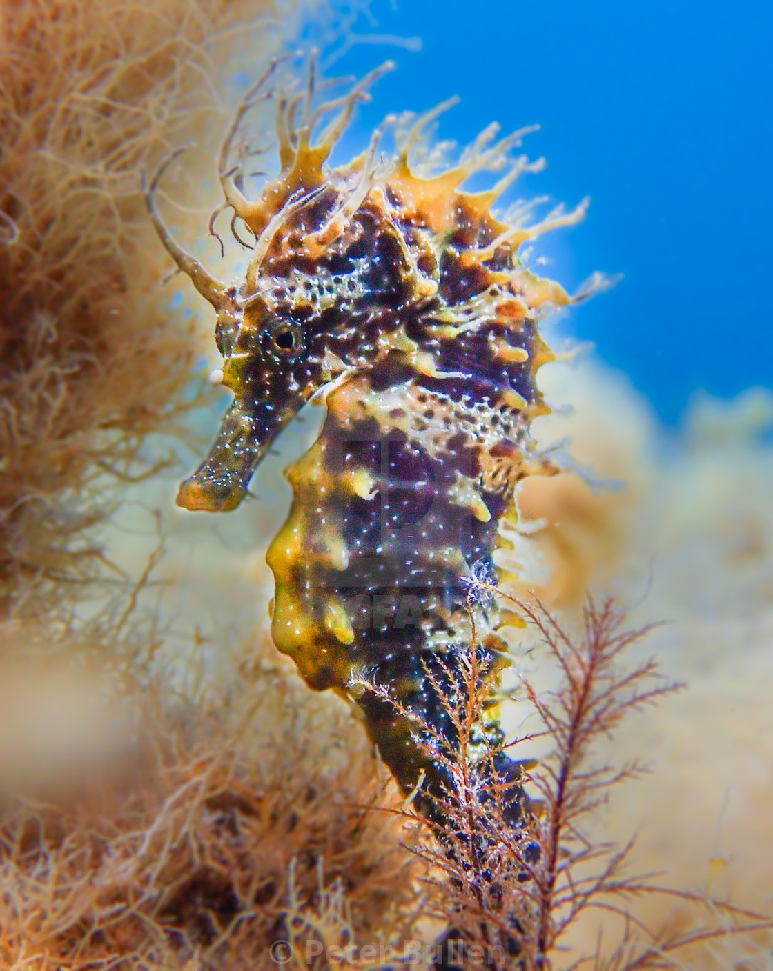 """Spiny Seahorse"" stock image"