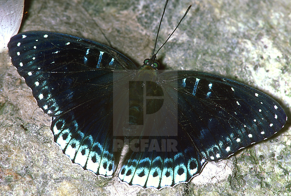 """""""A blue butterfly on a rock, Malaysia."""" stock image"""