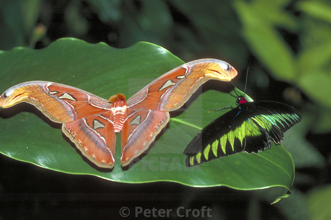 """""""An Atlas moth and a Rajah Brooke Birdwing butterfly together, Malaysia."""" stock image"""